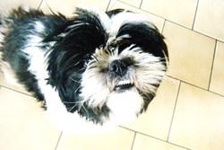 Coquette, chien Lhassa Apso
