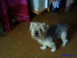 Coquin, chien Yorkshire Terrier