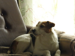 Coquin, chien Jack Russell Terrier