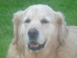 Coquin, chien Golden Retriever