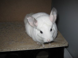 Coquin, rongeur Chinchilla
