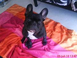 Coquine, chien Bouledogue français