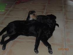 Coquine, chien Labrador Retriever