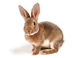 Coquine, rongeur Lapin