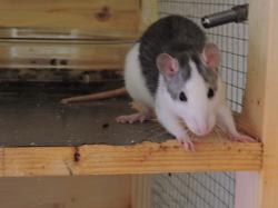 Coquine, rongeur Rat