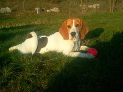 Cora, chien Beagle