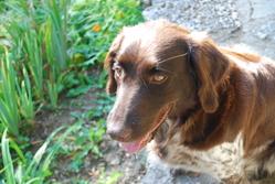 Cora, chien Petit Münsterländer