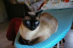 Coraline, chat Siamois