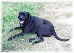 Corbeau, chien Labrador Retriever