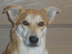 Corie, chien Akita Inu