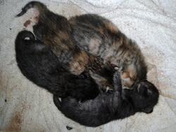 Corina, chat Gouttière