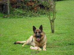 Corneille, chien Berger allemand