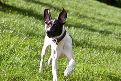 Corsica, chien Pointer anglais