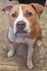 Corso, chien American Staffordshire Terrier