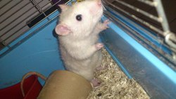 Cortex, rongeur Rat
