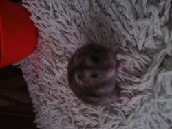 Cortex, rongeur Hamster
