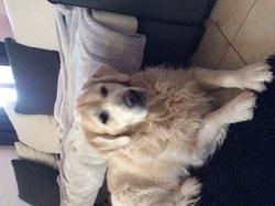Corto, chien Golden Retriever