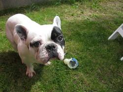 Corto, chien Bouledogue français