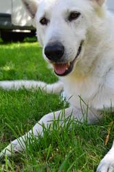 Corto, chien Berger blanc suisse
