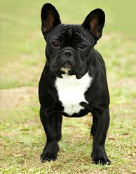 Corto, chien Bulldog