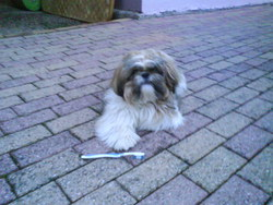Corto, chien Shih Tzu