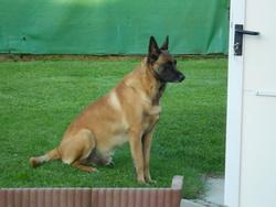 Cosak, chien Berger belge