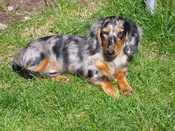 Cosby, chien Teckel