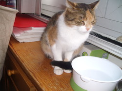 Cosette, chat Européen