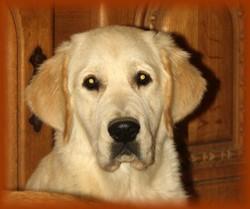 Costa Artabra Poseidon , chien Golden Retriever