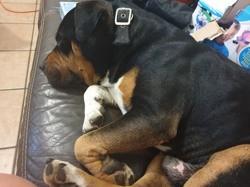 Costaud, chien Rottweiler