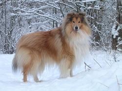 Cotarako, chien Colley à poil long