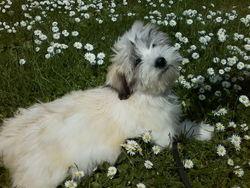 Coton, chien Coton de Tuléar