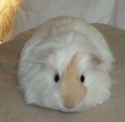 Coton, rongeur Cochon d'Inde