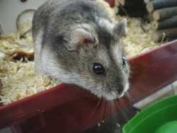 Coton, rongeur Hamster