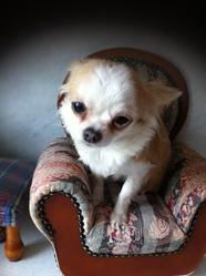Cotonne, chien Chihuahua