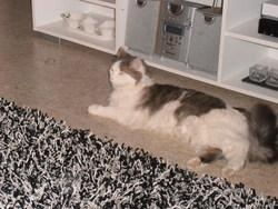 Cotton, chat Gouttière