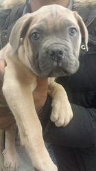 Coubiak, chien Cane Corso