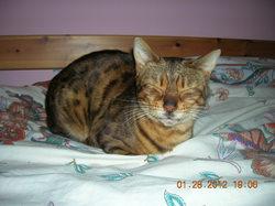 Cougar, chat Bengal