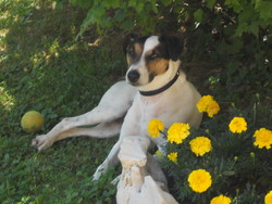 Couki, chien Parson Russell Terrier