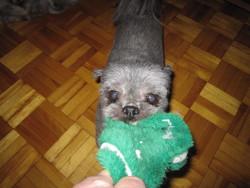 Coukie, chien Shih Tzu