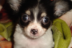 Coukis, chien Chihuahua