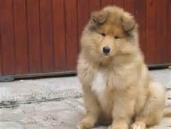 Couky, chien Colley à poil long