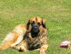 Counto, chien Leonberger