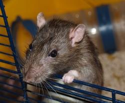 Cowboy- Rip, rongeur Rat