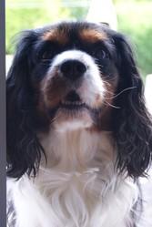Cowboy, chien Cavalier King Charles Spaniel