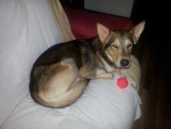 Cowboy, chien Husky sibérien