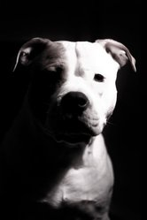 Cowboy Joe, chien American Staffordshire Terrier