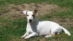 Cox, chien Jack Russell Terrier