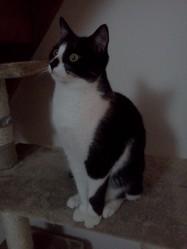 Coxie, chat Européen
