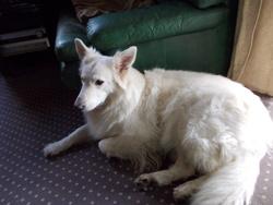 Coxie, chien Berger blanc suisse